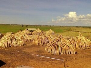 Tusks ready for burning in Nairobi National Park, Kenya, April 29, 2016