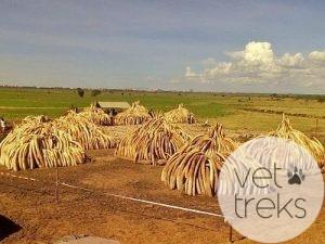 Tusks ready for burning in Nairobi National Park, Kenya, April 29, 2016